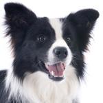 Tierarztkosten beim Border Collie