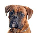 Tierarztkosten beim Boxer