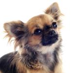 Tierarztkosten beim Chihuahua