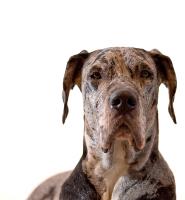 Tierarztkosten Dogge
