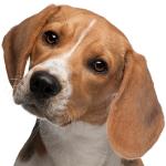 Tierarztkosten beim Beagle
