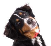 Tierarztkosten beim Berner Sennenhund