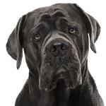 Tierarztkosten für Cane Corso