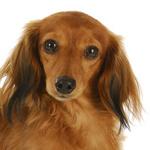 Tierarztkosten beim Dackel