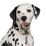 Tierarztkosten beim Dalmatiner
