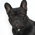 Tierarztkosten für französische Bulldogge